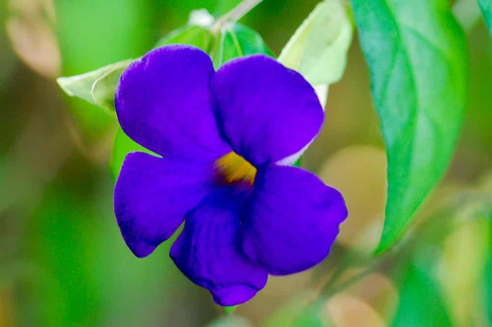 Fleurs de tahiti tahiti heritage - Fleur gueule de loup ...