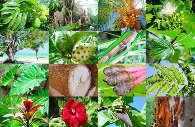 Photos Tahiti Heritage : 1 Uru, 2 Mape, 3 Cocotier, 4 Hotu, 5 Aito, 6 Nono, 7 Canne à sucre, 8 Kava, 9 Ape, 10 Ufi (igname), 11 Taro, 12 Nahe, 13 Auti, 14 Aute (Hibiscus), 15 Bananier, 16 Ecorce.
