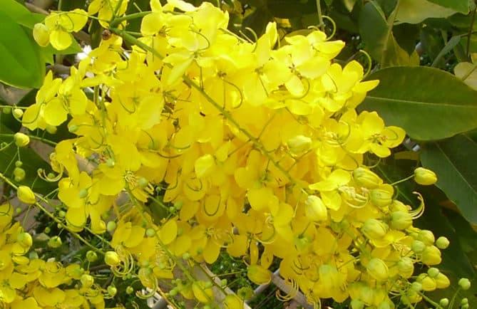 Cassier pluie d'or, Cassia fistula