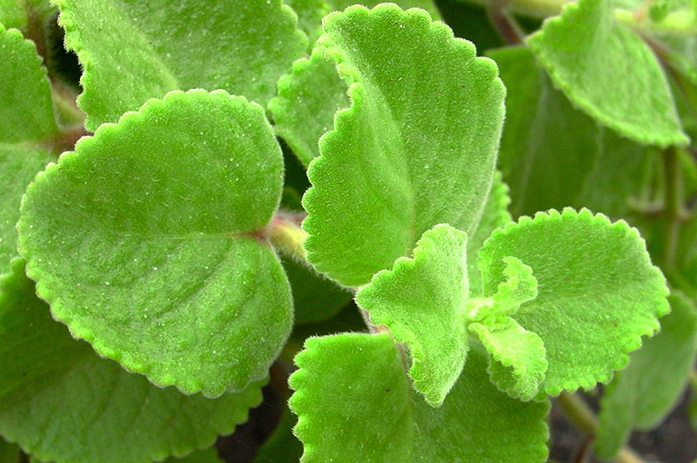 Thym indien, Plectranthus amboinicus,