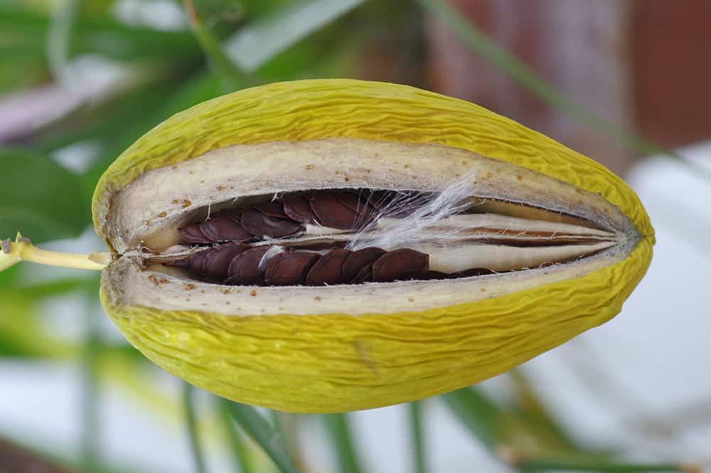 Fruit de la liane de cire