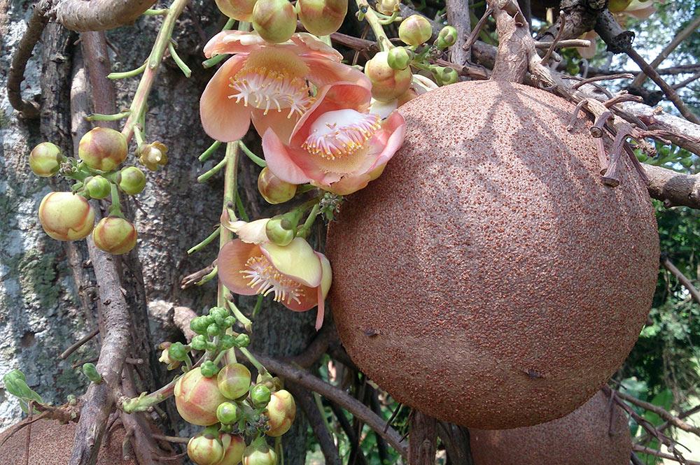 Fruit de Couroupita guianensis, Cannon ball