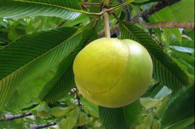 Pomme éléphant - Dillenia indica
