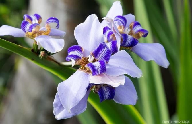 Iris, l'or bleu de la parfumerie