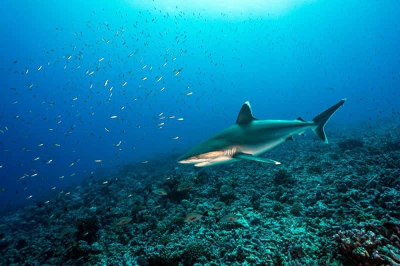 Requin à pointe blanche d'Avatoru, Rangiroa. Photo Sylvain Girardot