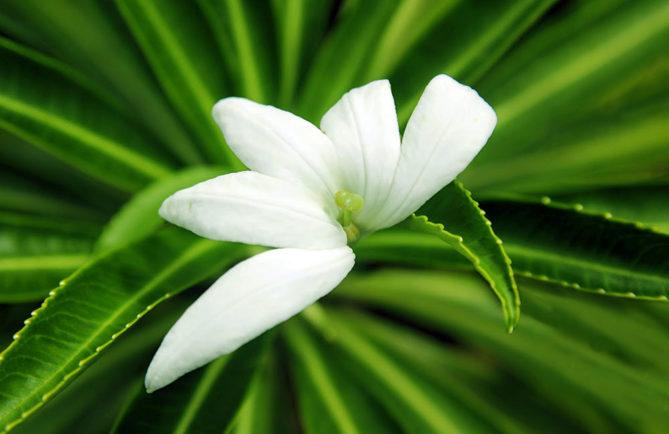 Tiare apetahi, fleur endémique de Polynésie française