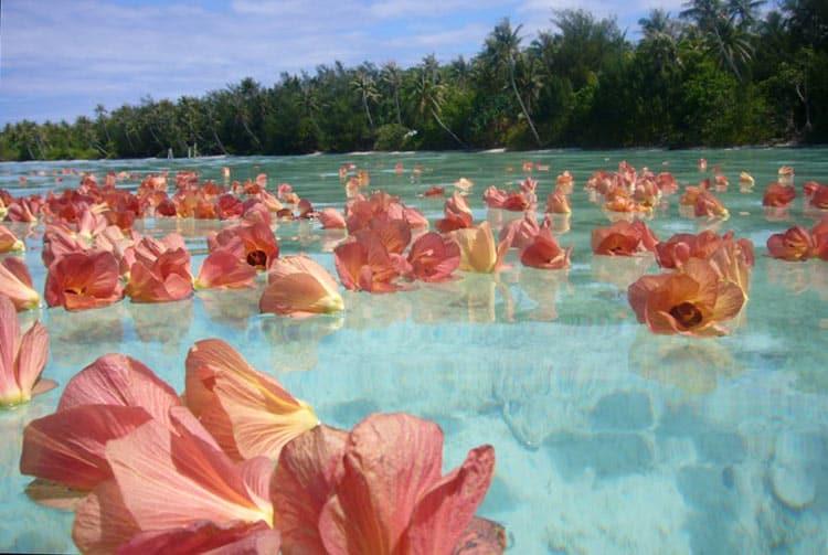 Fleurs de Purau sur le lagon de Tubuai. Photo Danielle Deviscourt