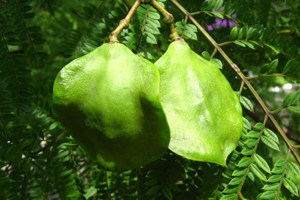Fruit du Jacaranda mimosifolia.