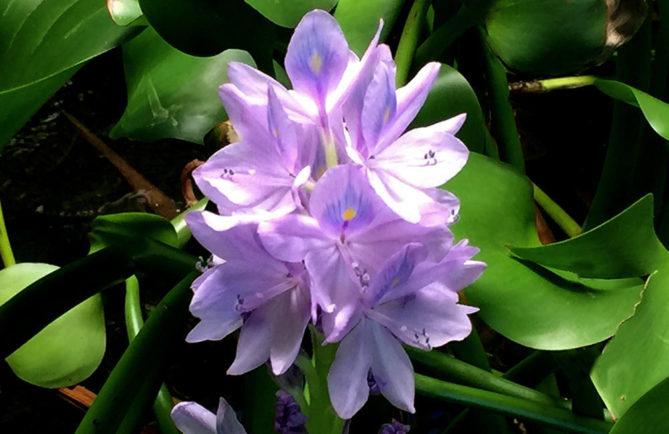 Jacinthe d'eau de Tahiti, Eichhornia crassipes