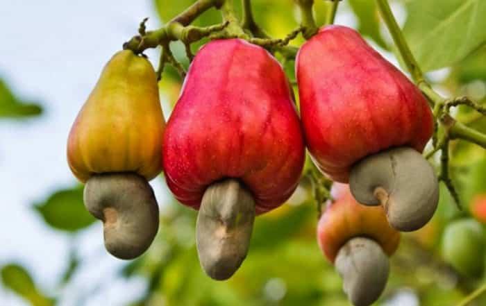 pomme et noix de cajou. Anacardium occidentale