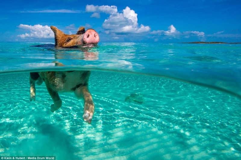 Cochon dans mer (Bahamas) Photo Kein Hubert Media drum worlf