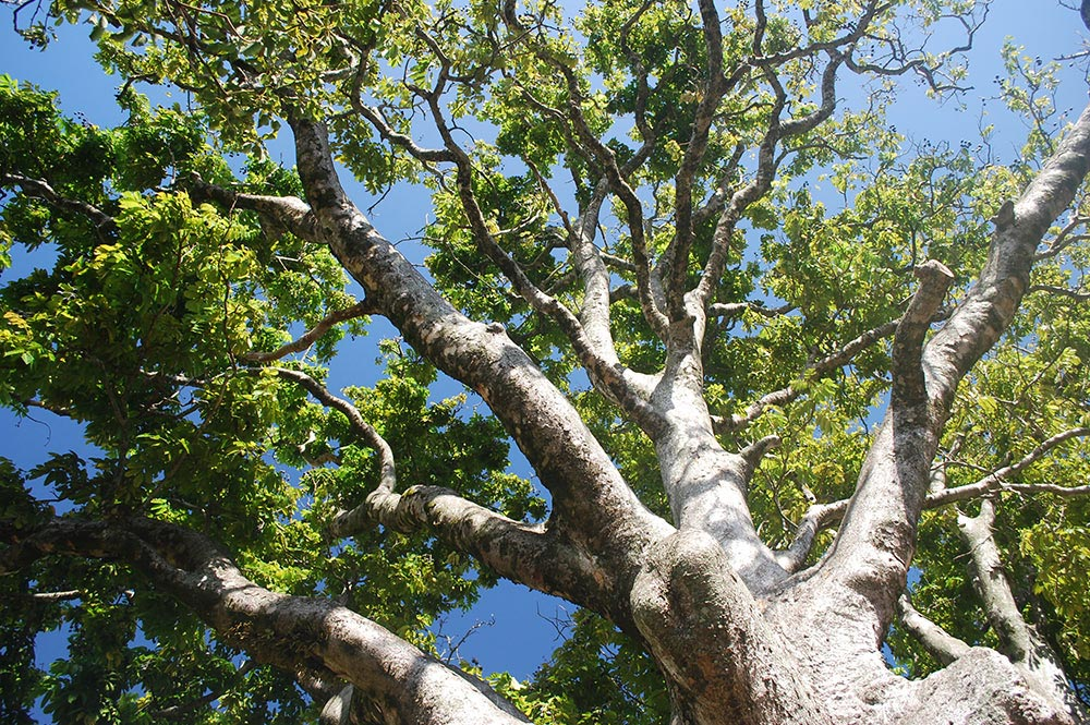 Branches de Noyer Mission © Tahiti Heritage