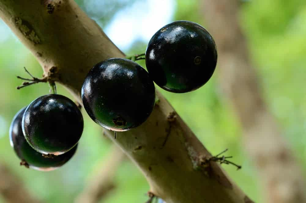 Fruits de Jaboticaba