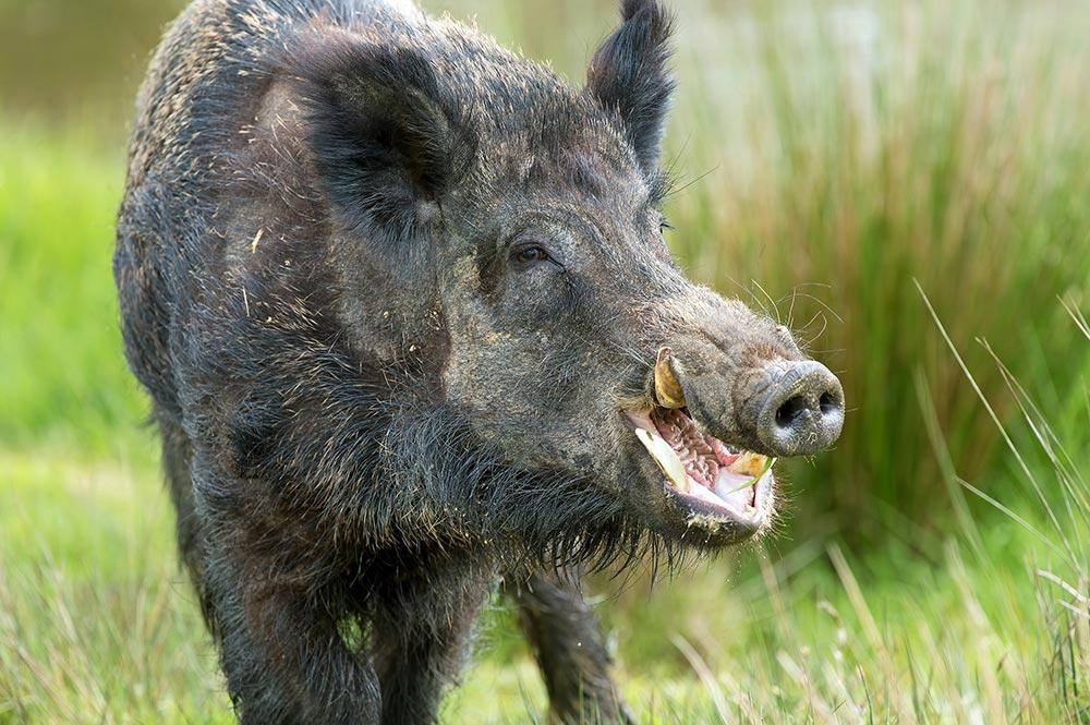 Adolescence de Hiro : le gardien du Kava et le cochon Moiri