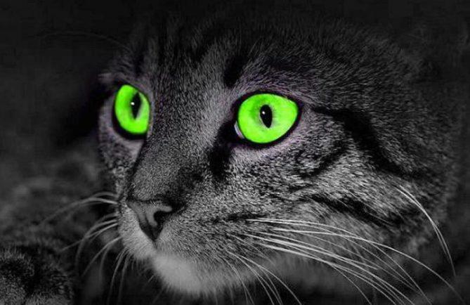 yeux verts de chat